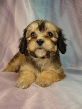 Male Cavahon Puppy for sale #1 Born December 20, 2011