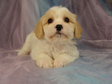 Minnesota life will be great! Male Cavachon puppy for sale #2 Born December 20, 2011