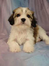 Male cavachon Puppy for sale #3 Born December 20, 2011