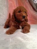 Dark Red Male Mini Goldendoodle Puppy for sale in Iowa.  Looking for mini goldendoodle Breeders in Illinois or Iowa? Try Iowa's top dog breeder!