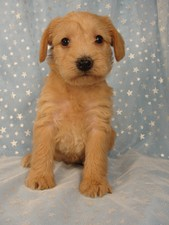 Female Schnoodle Puppy for sale #12 Born September 10, 2011