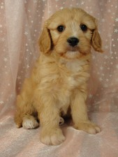 Male Cavachon puppy for sale #23 Born February 8th, 2012
