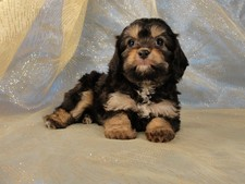 Female Cavachon Puppy for sale #24 Born February 8th 2012