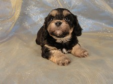 Female Cavachon Puppy for sale #26 Born February 8th 2012