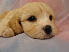 Female Cavachon puppy for sale #28 Born February 8th, 2012