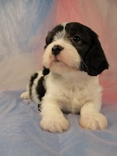 Male Black and White Cavachon Puppy for sale #20 Born February 8th, 2012