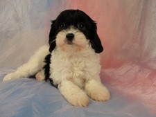 Male Cavachon Puppy for sale #21 Born February 8th, 2012