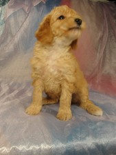 Male Bichon Poodle Puppy for sale #3 Born February 5, 2012