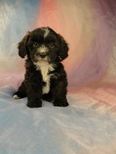 Female Lhasa Bichon Puppy for sale #28 Born February 7th 2012