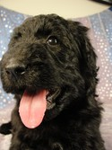 Female puppies for sale|Giant schnoodle breeder|Iowa 2012