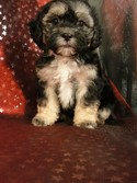 Teddy Bears|Puppy for sale|Lhasa Bichon Puppies|North Iowa Breeder|Ready 2012 July