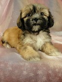 Female Lhasa Bichon (teddy bear) Puppy for sale 2012