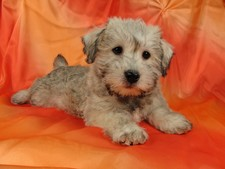 Female Schnoodle puppies for sale #20 Born November 25, 2011