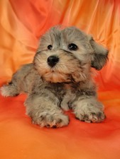 Male Schnoodle puppy for sale #23 Born November 25, 2011
