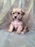 Male Schnoodle Puppy for sale #19 Ready Feb. 2014| Do you live in MA,MD,ME,NJ,FL,NC,DC,NV,CA,WI,IL,NJ,or PA? Not a problem! We sell airfare for $200!