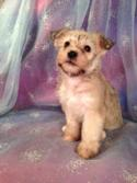 Female Schnoodle Puppy for sale #4 DOB 6-3-13|Schnoodle Breeders in Illinois and Wisconsin are welcome at Purebredpups