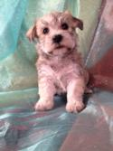 Female Schnoodle Puppy for sale #15 Born December 5th 2013 $950 Ready February 5th 2014  Professional Schnoodle Breeder