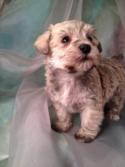 Female Schnoodle Puppy for sale #16 DOB December 5th 2013  Enjoy great shipping rates on airfare to Boston, Baltimore, Manchester, Portland, Fort Lauderdale, San Francisco, Philadelphia, Washington DC, and more!