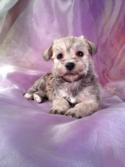 Female Schnoodle Puppy for sale DOB 12-5-13 Ready Feb. 2013 Most schnoodle Breeders in MA,ME,NH,CA,MD,FL,DC,NJ,NC,PA, with Puppies for sale charge double the Purebredpups price for shipping.