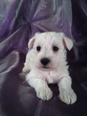 Male Schnoodle Puppy for sale #17 Born Feb. 22, 2013|Iowa Schnoodle Dog breeder with Puppies for sale now!