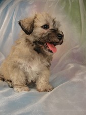 Male schnoodle Puppy for sale #4 Born February 25, 2012