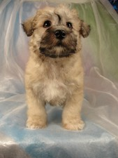 Male schnoodle Puppy for sale #3 Born February 25, 2012