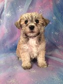 Female schnoodle puppy for sale #3  Born February 20th 2013| Iowa dog breeders with schnoodles for sale now!