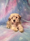 Male Schnoodle Puppy for sale #5 Born February 20th 2013|Located about 25 miles South of Albert Lea Minnesota