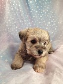 Wheaten Schnoodle Puppies Located in Iowa August 2012 Big Sale