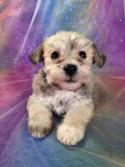 Male Schnoodle Puppy for sale #11 Born September 1st 2013|Ready November 2013|Schnoodle Breeder with all the colors!