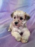 Female Schnoodle Puppy for sale #13 Born September 1st 2013|Most Flights into Pennsylvania, Maryland, and Massachusetts are direct!