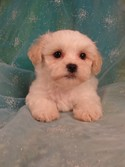 Male White with light apricot Shih Tzu Bichon Puppy Ready Now!