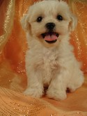 Male Shih tzu bichon Pup for sale Ready August 2012