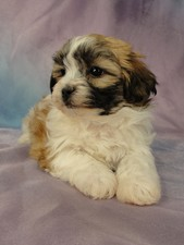 Female Shih tzu Bichon puppy for sale #24 Born January 9th, 2012