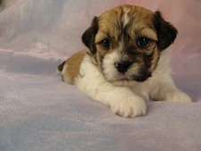 Male Shih Tzu Bichon Puppy for sale #34 Born March 20th 2012