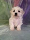 Male Shih tzu Bichon Puppy For Sale #4 DOB 10-20-14