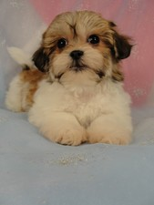 Female Shih tzu bichon puppy for sale #14 Born November 26, 2011