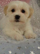 Male Shih tzu Bichon Puppy for sale #17 Born November 26, 2011