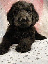Male Giant Schnoodle Puppy for sale #1 Born December 1, 2011