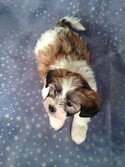 Male Teddy bear puppy for sale #1 Born February 10, 2013|Discounted shipping available to Florida and many other states right Now!
