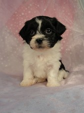 Female Shih tzu bichon (Teddy Bear) Puppy #18 Born December 7, 2011