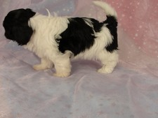 Female shih tzu Bichon puppy for sale #21 Born December 7, 2011