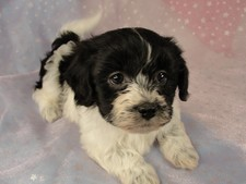 Female Bichon Shih tzu Puppy for sale #20 Born December 7, 2011