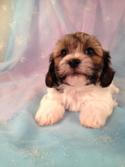 Female Teddy bear (Shih tzu Bichon) Puppy for sale #4 Born March 21st 2013|Teddy bear puppies for sale in Illinois can run double Purebredpups price
