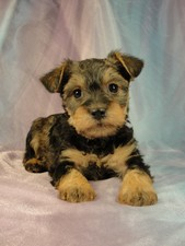 Female snorkie puppy for sale #4 Born December 18, 2011