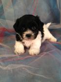 Teddy Bear Puppy Breeder Located in North Iowa.  Bichon > Shih tzu $675