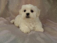Female Shih tzu Bichon Puppy for sale # 1 Born February 16, 2012