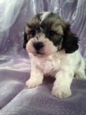 Teddy Bear Dog Breeder in Iowa with Puppies for sale at lower Prices than Most teddy bear Breeders in Wisconsin, Minnesota, and Illinois!