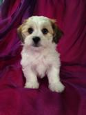 Male Lhasa Bichon Teddy bear Puppy for sale|Teddy bear Breeders Located in Iowa with Puppies ready Now!