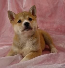 Shiba Inu Puppies | Shiba Inu Puppies For Sale | Puppy Breeding